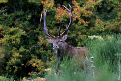 Cerf en automne dans le Cantal