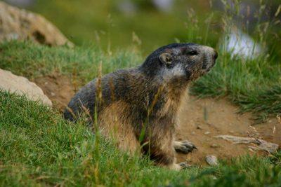 marmottes sur le massif cantalien