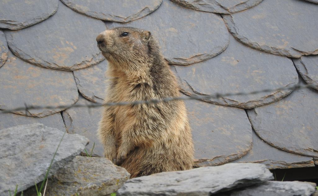 Marmots in Cantal Auvergne