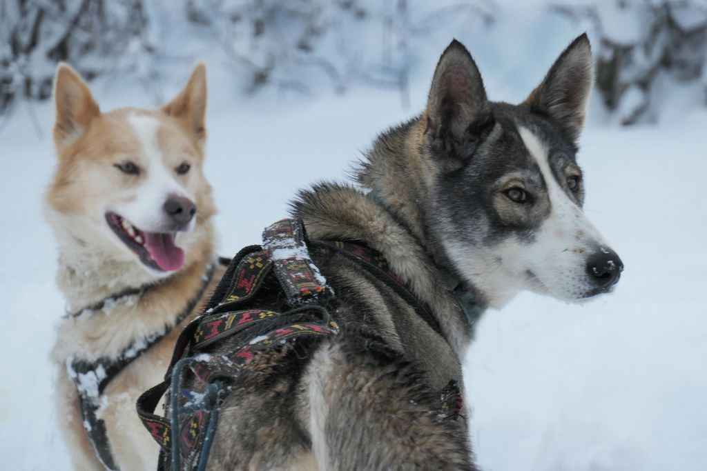 chiens nordiques cantal mushing