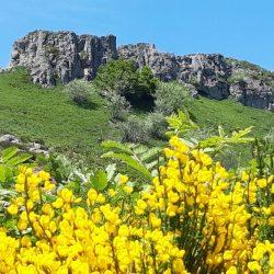 Genets à l'Elancèze dans le Cantal