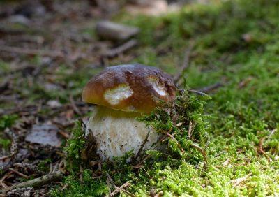 Cèpe en automne dans le Cantal